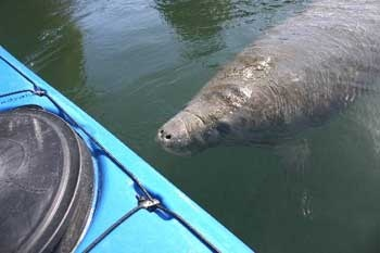 Crystal River Kayak Rentals- kayak with manatees!
