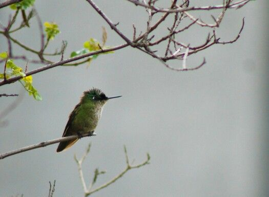 Picaflor Santiago, Chile #picaflor #birdwatching #aves