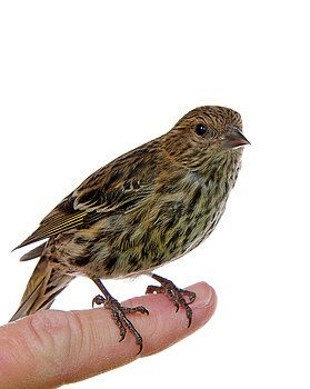 Wild Pine Siskin perched on finger by Sheila Fitzgerald