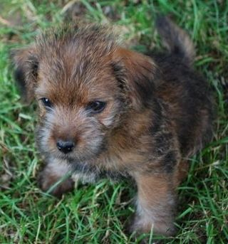 Norfolk Terrier | welpen 1 Norfolk Terrier