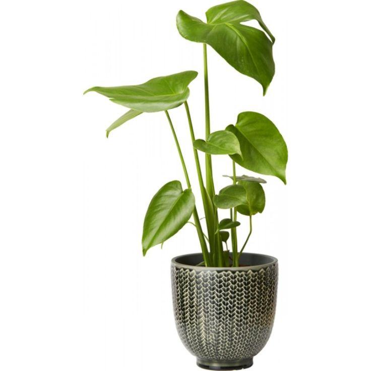 Mycket robust, ståtlig och trendig bladväxt med stora, blanka gröna blad. ...