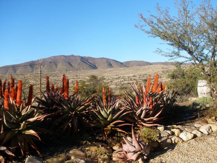 Magnificent display of our Aloe Ferox's