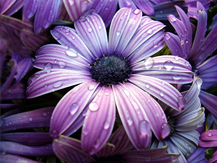 Beautiful: Gerber Daisies, Shades Of Purple, Purple Flowers, Dew Drop, Beautiful Flowers, Raindrop, Dewdrop, Water Drop, Rain Drop