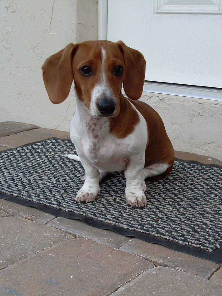 Watson-Datsun, our piebald dachshund.  Can't have a puppy cause I am renting but guess what? my neighbor got one like this, guess they will have to share :-)