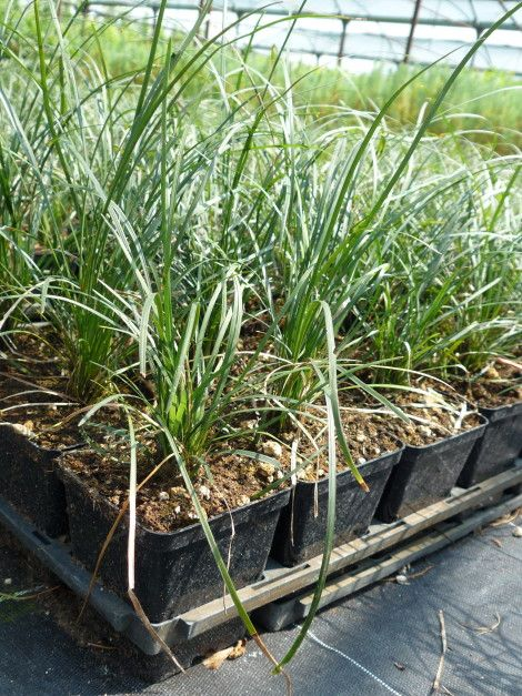 Ophiopogon japonicus - It's a #perennial #evergreen #herbaceous, slow #growing.  Discover it on our website!  #convallaria #lilyturf #grass #shrub #erba #arbusto #beautiful #nature