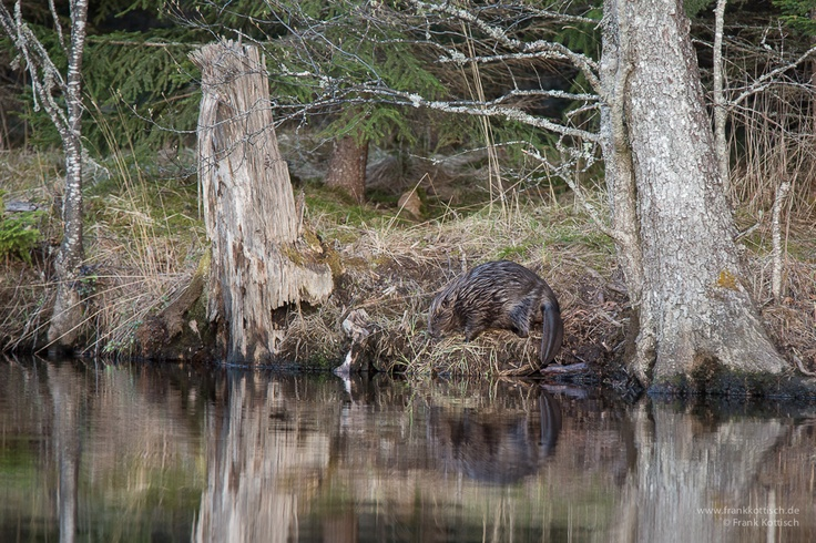Beaver on land. Photo by Frank Kottisch.