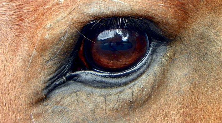Synen skiljer sig åt mellan hästraser