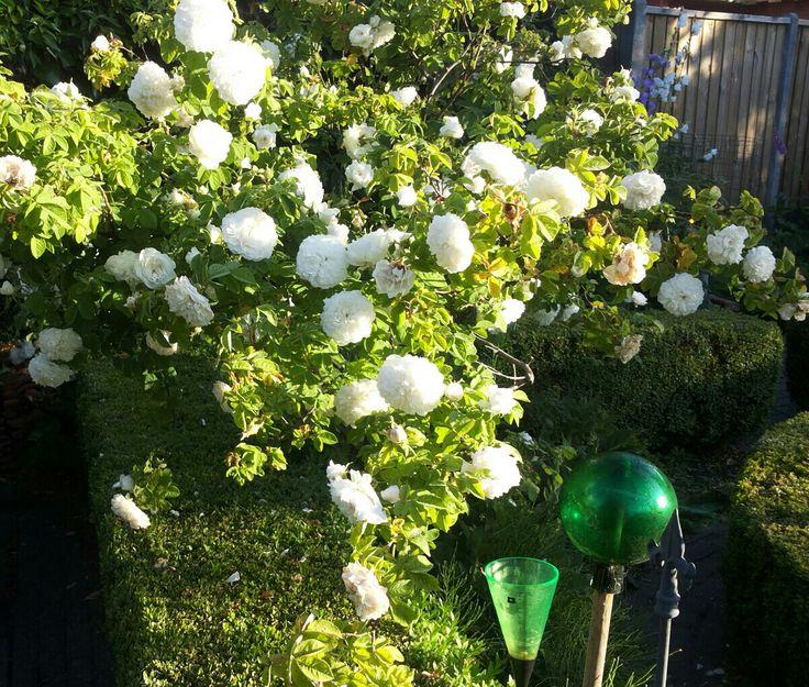 Rosa Mme. Hardy, gewonnen in 1832 door M. Hardy , directeur van de 'Jardin Luxembourg' in Parijs. Mme Hardy is een geurende roos en heeft  roomwitte komvormige bloemen. Hardy heeft de roos naar zijn vrouw vernoemd. Deze fraaie roos heeft ook  lange gekuifde kelkblaadjes en een groene punt in het hart. Is éénmalig bloeiend  en krijgt dan ook kleine botteljes, wij hebben haar aangeplant in 2003 , in de kruidentuin.