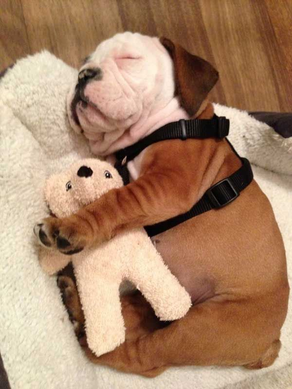 Bulldog Affection. These 12 Beautiful Pictures Of Puppies Snuggling Teddy Bears Will Melt Your Heart – BoredBug