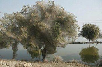 LES ARBRES-COCONS OU ARBRES-ARAIGNEES-Alors que les eaux recouvraient un cinquième du territoire pakistanais,  des millions d'araignées se sont réfugiées dans les arbres où elles ont tissé leurs toiles,  créant de véritables cocons autour des branches.