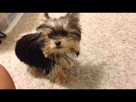 Misa Minnie. This little Yorkie is incredible!