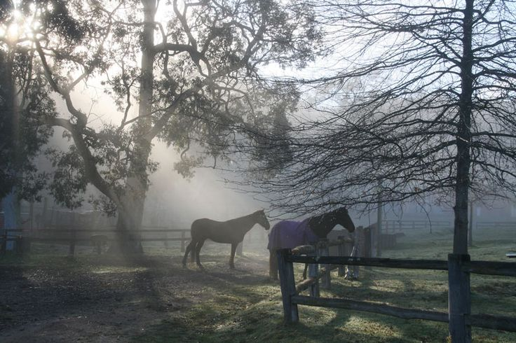 Early foggy morn in September. Waiting for the other mob to come in  for breakfast