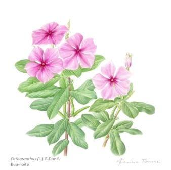 Catharanthus roseus_M.CeciliaTomasi_b