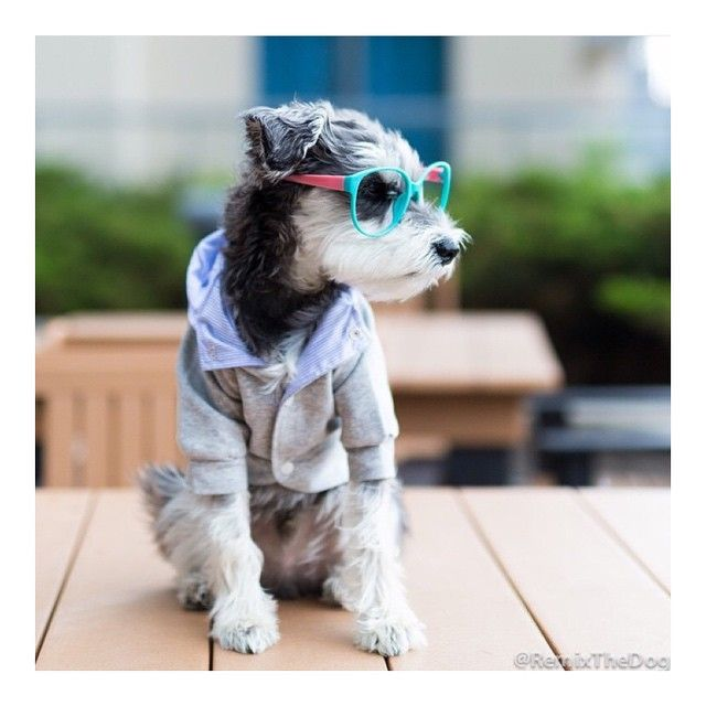 [s]WAG WHAT YOU HAVE 🐾 Our Brand Rep @remixthedog is a #MiniatureSchnauzer wearing a small #CottonClubJacket. His vibe is #hipster meets #preppy. Urban dictionary would call his look, #yuccie 🐶✌🏼️