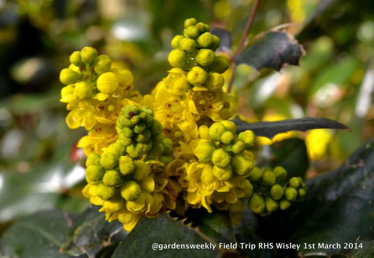 The tight buds of the Mahonia, the perfume catches your breath