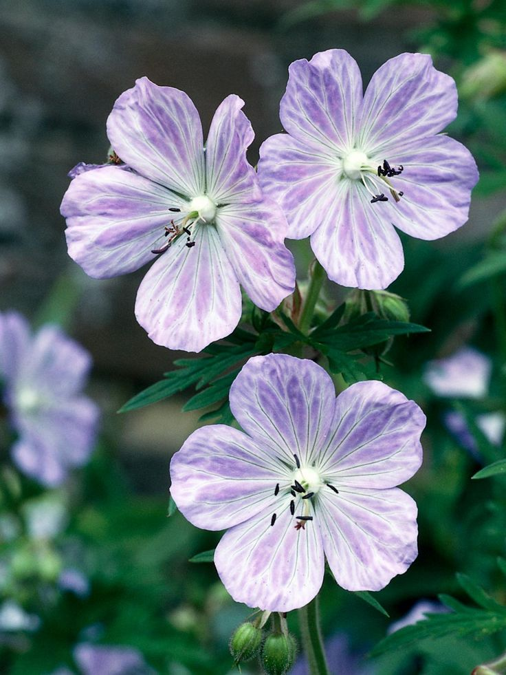how to keep hardy geraniums flowering