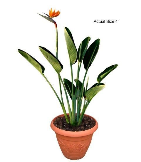 The Bird Of Paradise   This Plant Is Great For Indoor Use, As It Develops