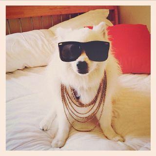 American Eskimo Gangster #dogs #american Eskimo #   Jenn, Skip can be this for Halloween!