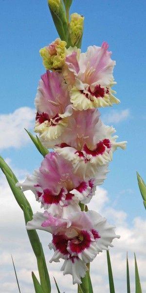 Gladiolus 'KLIUKVA V SAHARE'