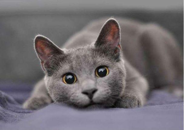 Te presentamos a la raza de gato azul ruso