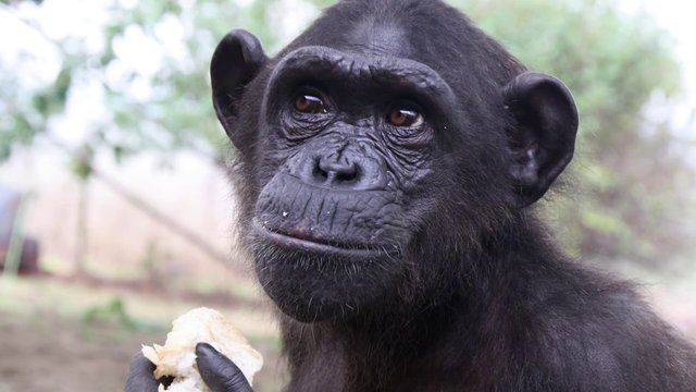 This amazing video documents the story of Wounda, one of the more than 160 chimpanzees living at the Jane Goodall Institute's Tchimpounga Chimpanzee Rehabilitation Center in the Republic of Congo.    See that white dude helping to carry Wounda's cage when they're bringing her to her new home?  I know that guy!
