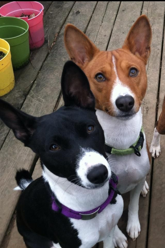 Ono and Dude Photos, Basenji dogs  Basenjis come in a few different colorations: red, black, tricolor, and brindle, and they all have white chests and stomachs. They can also come in trindle, which is a tricolor with brindle points, a rare combination.