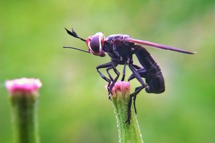 Conopidae