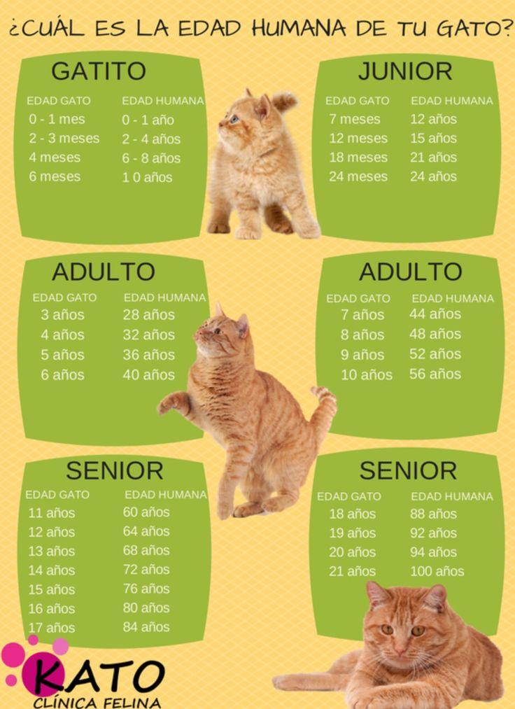 ¿Quieres saber cuantos años humanos tiene tu gato? Echa un vistazo a la siguiente tabla y puede que te lleves alguna sorpresa. Si tu gato ha alcanzado los 50 años humanos te aconsejamos realizarle un pequeño chequeo para descartar ciertas enfermedades muy frecuentes en gatos de esta edad. How many human years old is your cat?