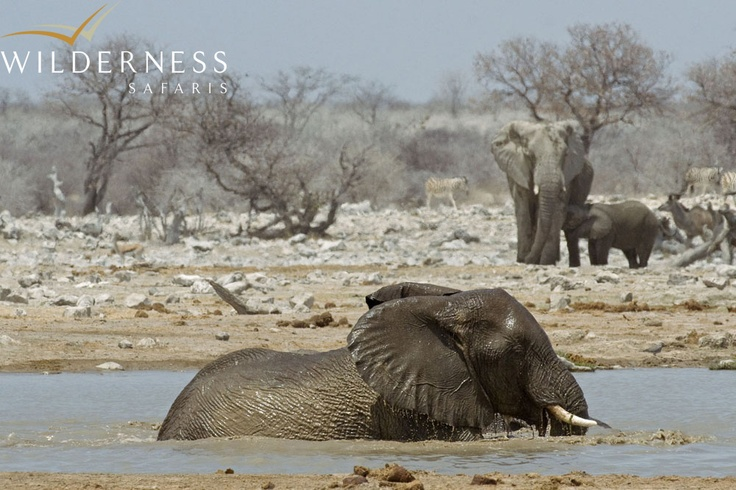 Andersson's Camp - During the drier months, good numbers of elephant can be seen in the south-eastern sections of Etosha, and awesome wildlife gatherings at the Okaukuejo waterhole can be seen. #Safari #Africa #Namibia #WildernessSafaris