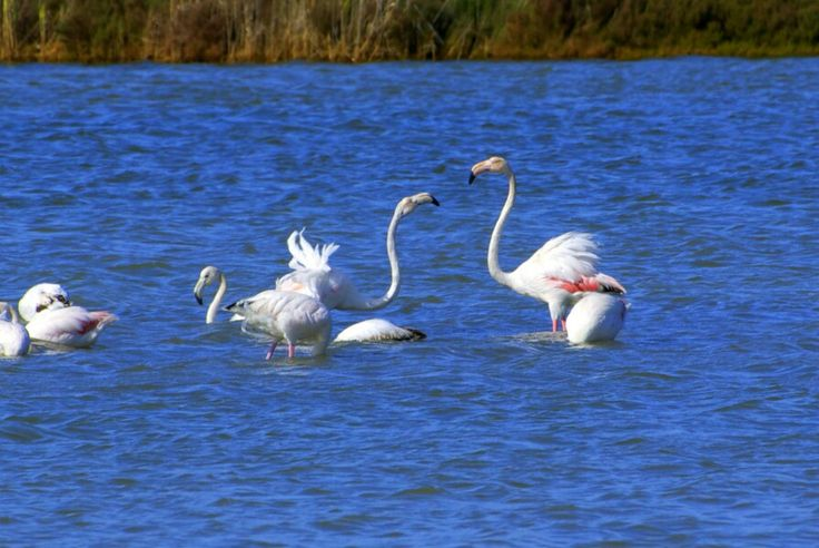 Flamingos in Orbetello Lagoon. The right place for birdwatching. #maremma #tuscany #sport