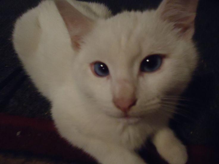 Is my cat albino ? | The Cat Site