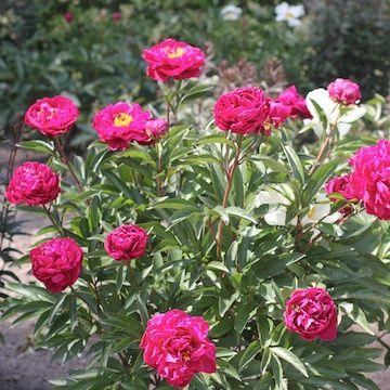 Paeonia lactiflora 'Karl Rosenfield' 2L Luktpion