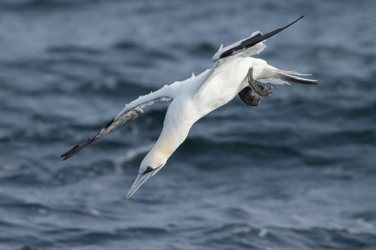 Northern Gannet (Morus bassanus) by Johan van Beilen on 500px