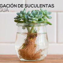 propagación de suculentas con agua