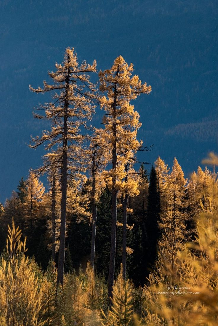 Larch in the Kootenays