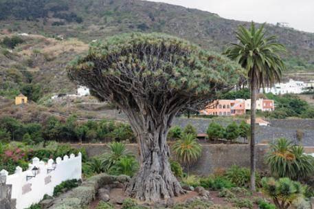 Drago de Icod de los vinos, Tenerife
