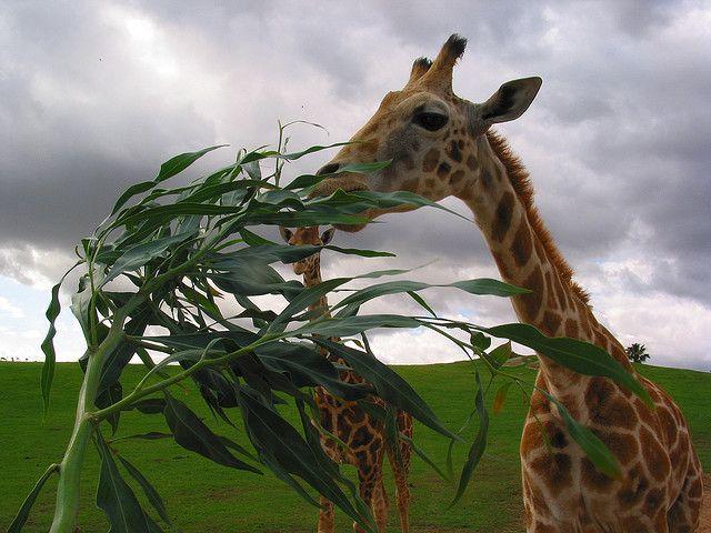 Giraffe love to eat Acacia leaves