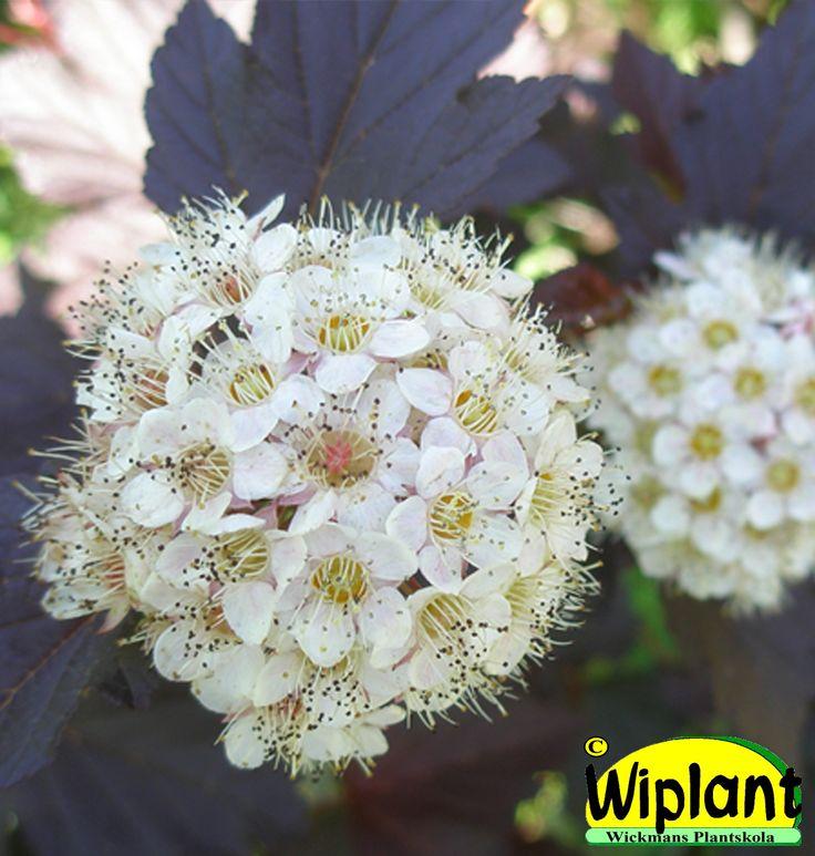 Physocarpus op. 'Diabolo', Rödbladig Smällspirea. Mörkröda blad, vita blommor. Planteras soligt för mest färg. Höjd: 1,5-2 m.