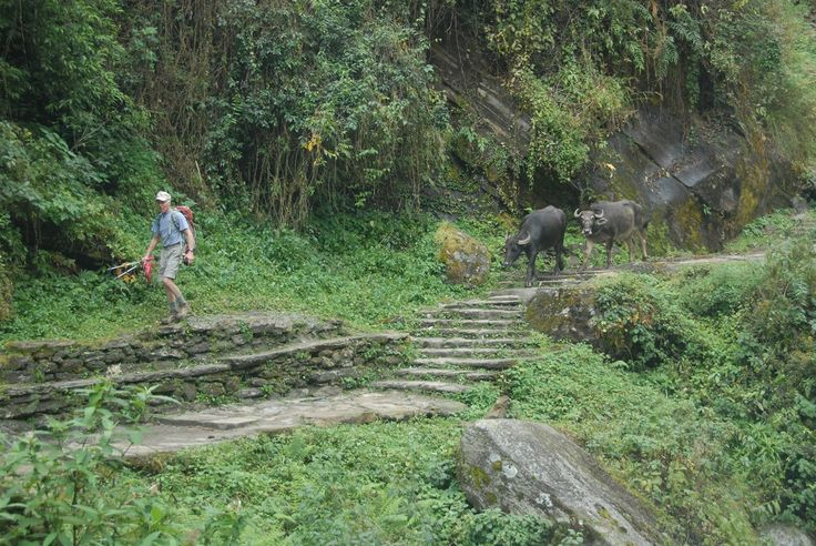 Some Water Buffalo keeping us company on the trail!    #nepal #himalayas #hikingnepal