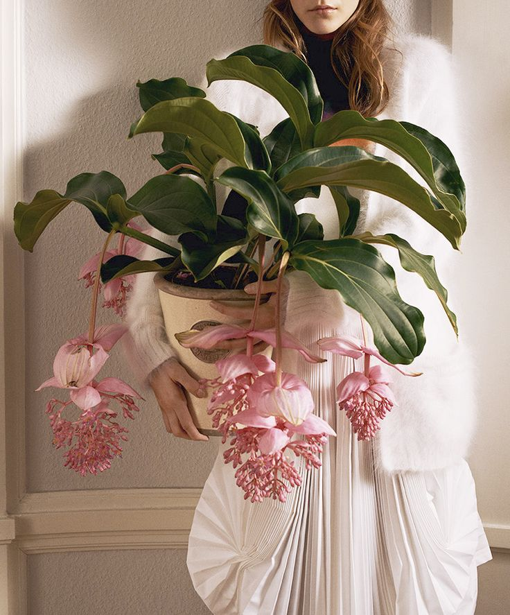 flowerfood: iontha: corpo-celeste: bienenkiste: Photographed by Sigurd Grünberger for Cover Magazine November 2012 What is this plant? Medinilla magnifica
