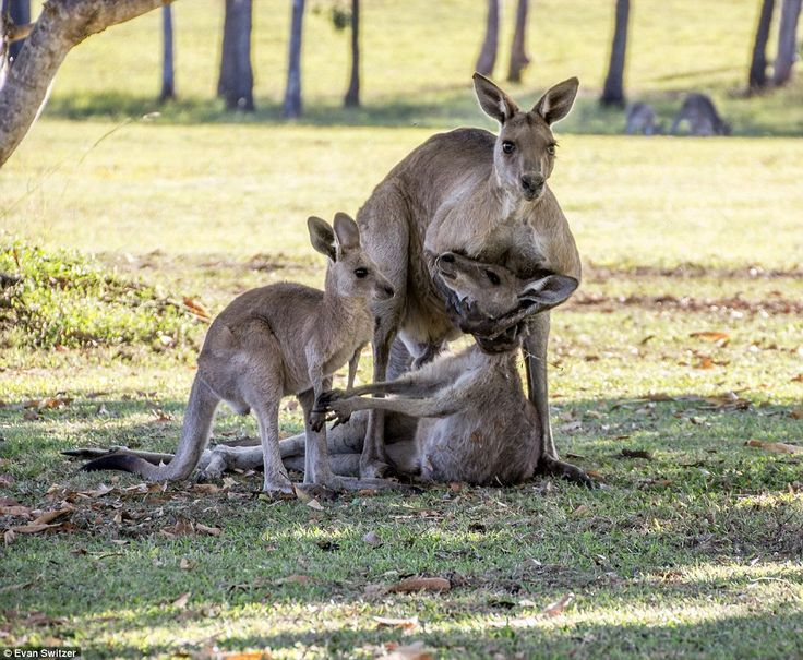 Heartbreaking: A male kangaroo cradles the head of a lifeless mother as she reaches out for her joey on a property in River Heads, a coastal town in Queensland