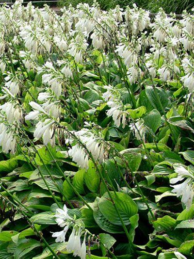 Hosta plantaginea Royal Standard, Lilien-Funkie