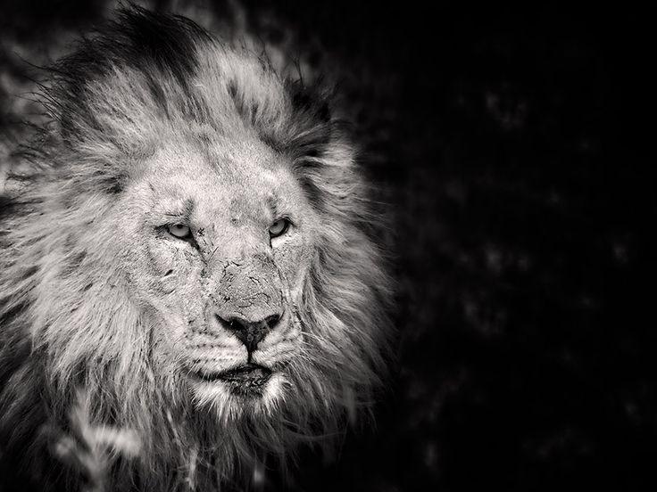 Madikwe Lion by ~MrStickman on deviantART