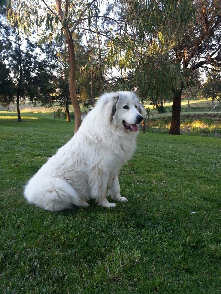 Pyrenean Mountain Dog - gentle giants