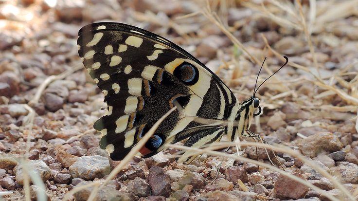 Papilio demodocus - Unterseite