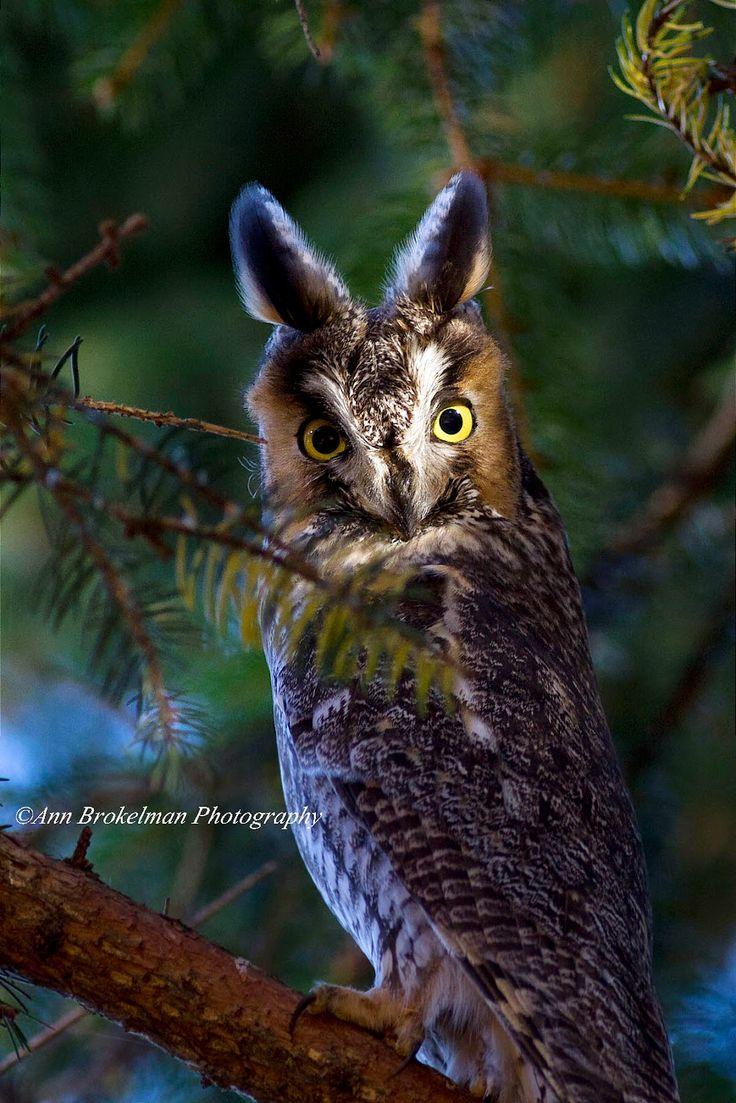 Long-eared Owl -Ann Brokelman Photography