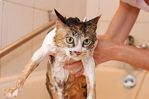 Bathing Your Cat ... This article from the ASPCA contains some helpful tips on how to safely (for both you and your feline!) give your cat a bath. :)