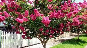 Image result for crepe myrtle hot pink