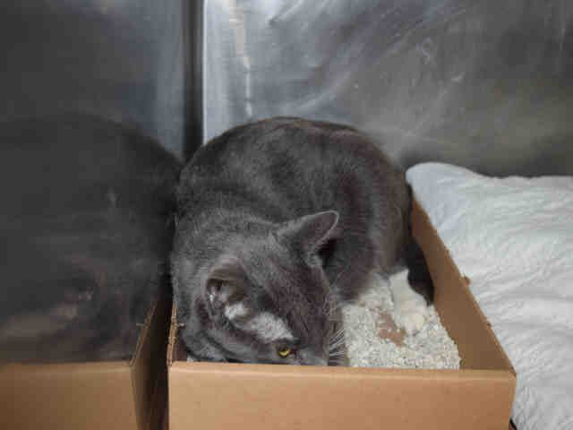 Still listed: 11/26/16. TBD UNKNOWN – FORGOTTEN, ONLY ONE YEAR OLD, PREGNAN, HOARDING VICTIM!!! – Q TIP (A1097117) came to Manhattan Center with 6 housemates. This darling girl accepts attention and petting but is scarred in the shelter - EXPNOCHILD rated. She is lying in her sand box and QUIETLY WAITING TO BE RESCUED. Please, take a look at her ADORABLE HOUSEMATES, maybe some is the right companion for you! ♡ http://nyccats.urgentpodr.org/q-tip-a1097117/