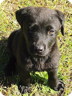 Rockville, MD - Labrador Retriever Mix. Meet Baby Scooby, a puppy for adoption. http://www.adoptapet.com/pet/17933788-rockville-maryland-labrador-retriever-mix